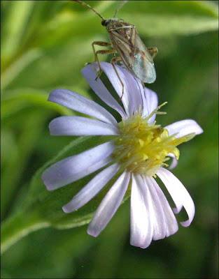 Seed Bug