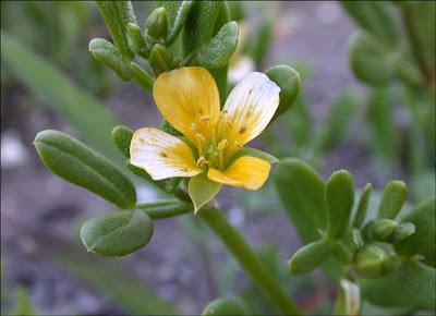Zygophyllum billardierei