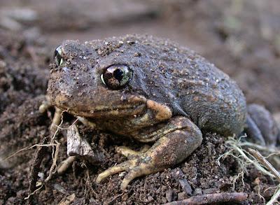 Pobblebonk Frog