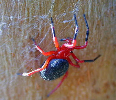 Red-n-Black Spider