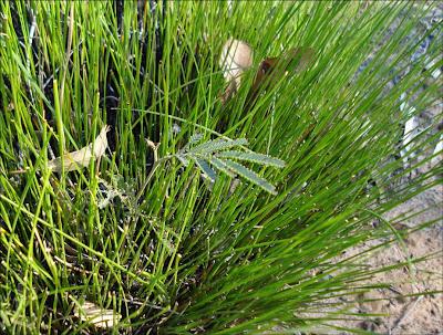 Wattle growing in lepidosperma