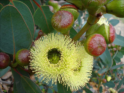 Bell-fruited Mallee
