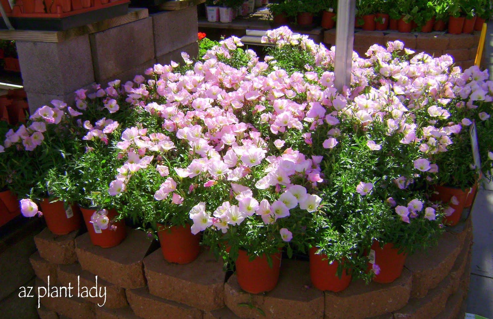 Pretty In Pinkwith A Hidden Secret Ramblings From A Desert Garden