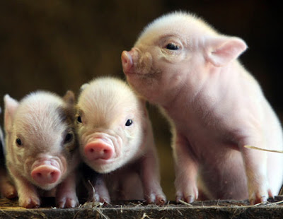 Cute Small Baby Pigs | Baby Animal Pictures  Cute Small Baby...