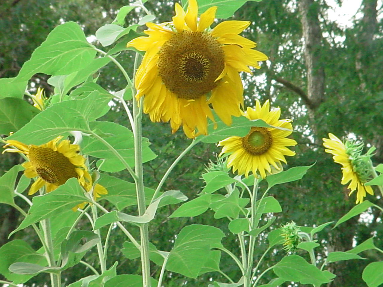 How to Grow Sunflowers in Your Backyard
