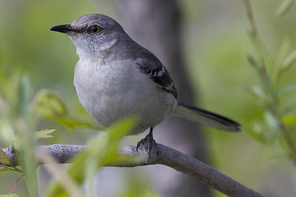 Baby Juvenile mockingbird   Baby mockingbird   Melvin Yap ...  Newborn Mockingbird
