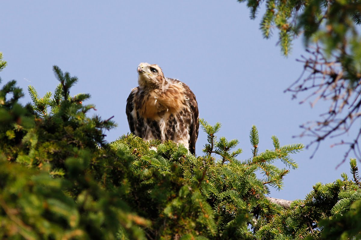 Red-Tailed Hawk Nest 2009-2017: First Flight of the Eyas