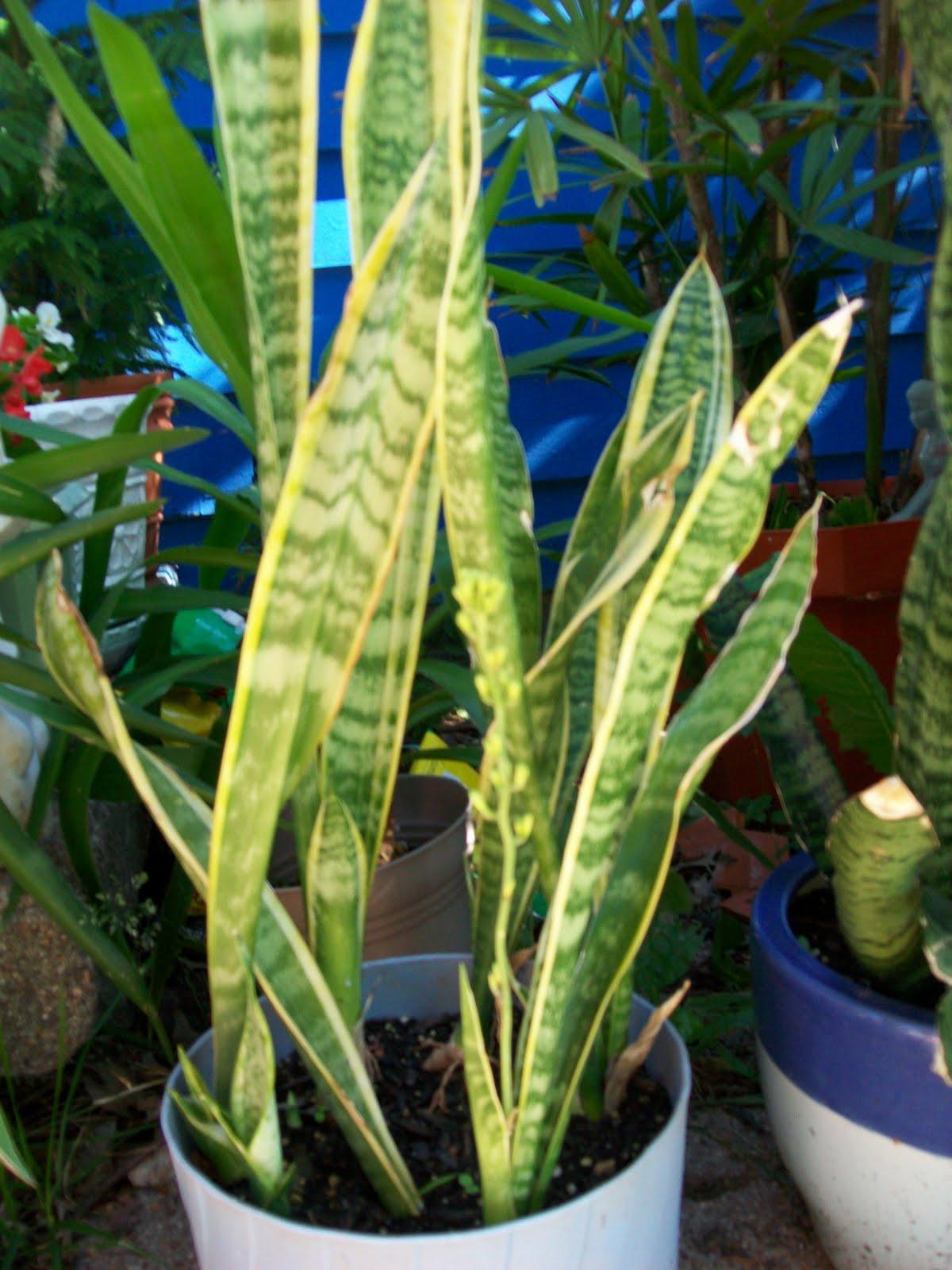 ducky u0026 39 s little rainbow flower pot  snake plant