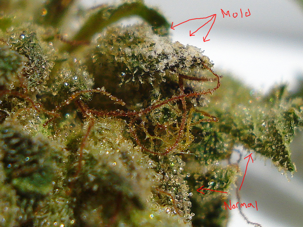 This Is Why Smoking Moldy Weed Can Make You Sick | Herb