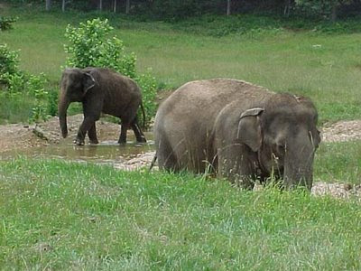 Animal Voice Free Lucky The Asian Elephant In San