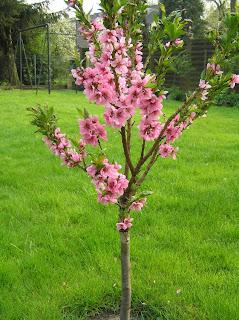 pfirsichbaum kaufen gegen kräuselkrankheit