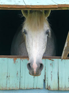 horse in barn window