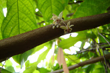 Cacao flowering