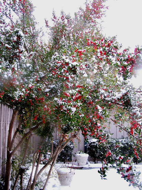 Beautiful Snow images, Yaupon Holly Trees, Texas, red berries