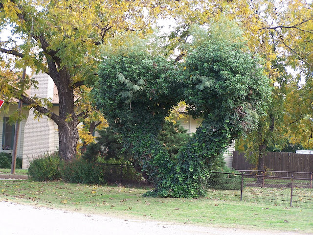 Mesquite tree in heart shape in Seymour, Texas neighborhood