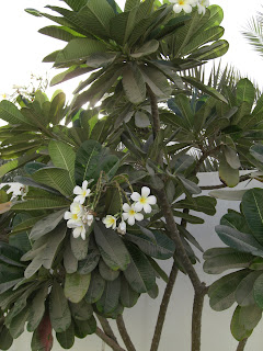 Beautiful White Flowers From A Flowering Tree But What Is It