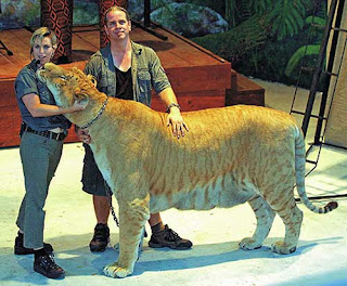Though They Are Fascinating Animals Get The Last Of List Because Most Por Known Among Hybrids Ligers Crossbreeds Between