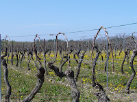 trellised vines of malbec