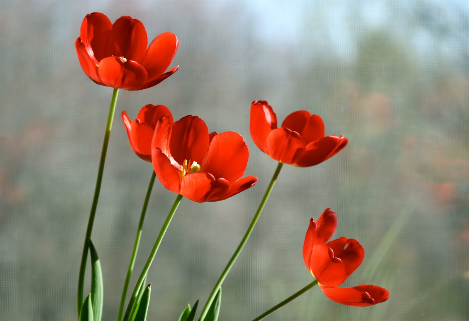 Tulips Flowers Wallpapers