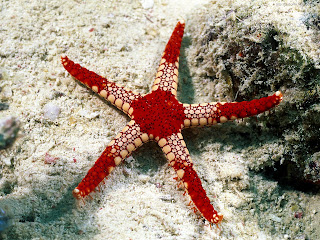 starfish wallpaper