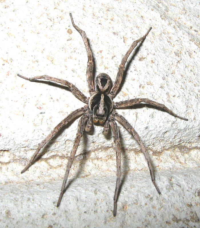 Esperance Fauna: Western Rough Wolf Spider - Venator ...
