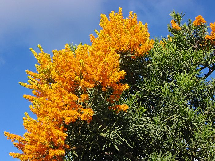 Esperance Wildflowers: Nuytsia Floribunda