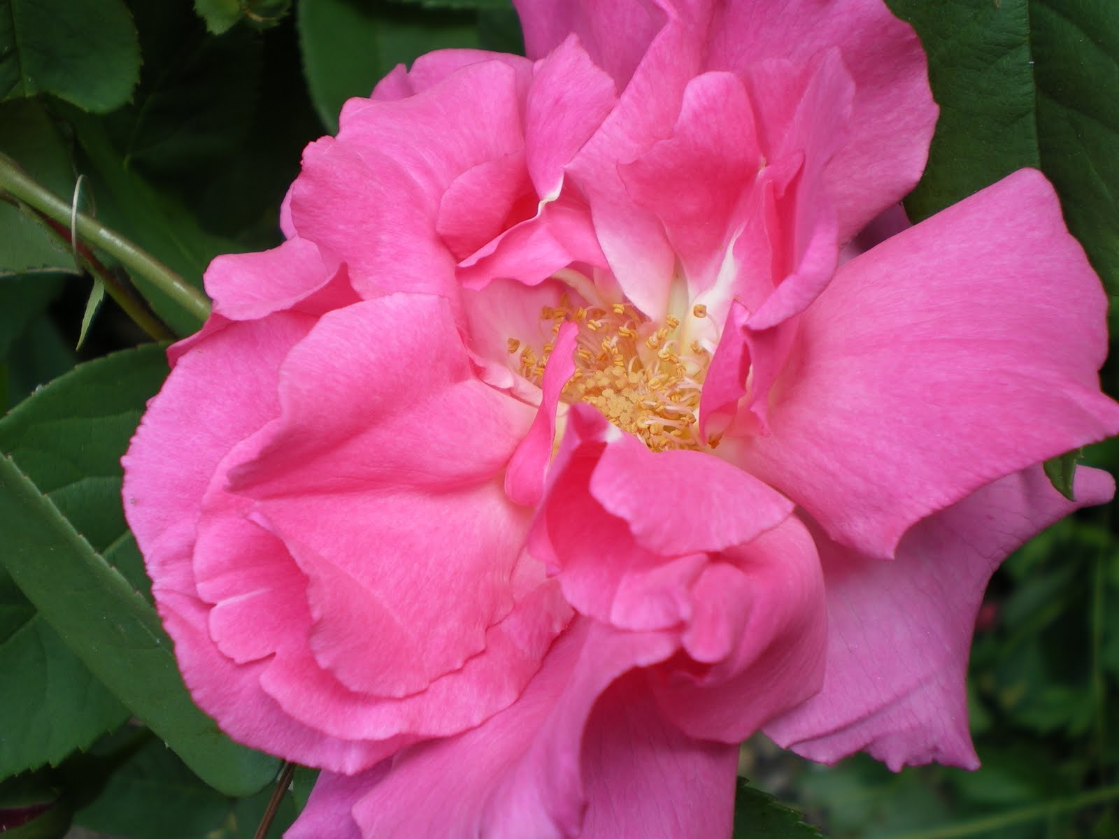 Love Garden Roses: The Shabby Chic Bohemian: It's Rose Season