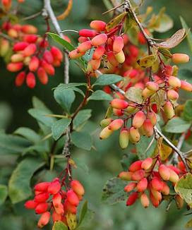barberry+leaves+and+fruits.JPG