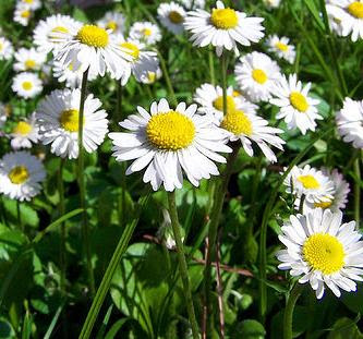 chamomile+flowers