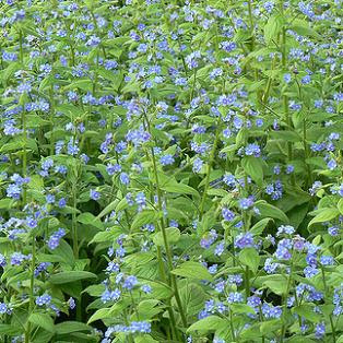 Borage plants