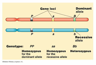 relationship between allele and chromosome