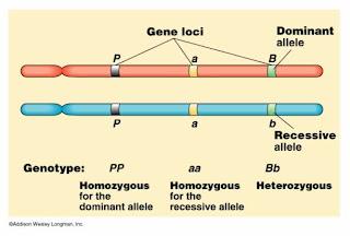 locus gene and allele relationship