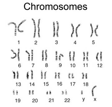 the two sex chromosomes are considered autosomes define in Bradford