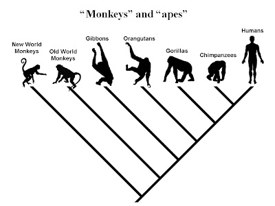 Are we descended from monkeys? « Genomicron
