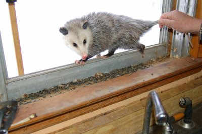 Possum in the window 2
