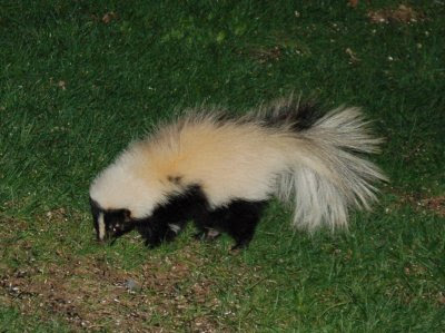 White skunk eating sunflower seeds