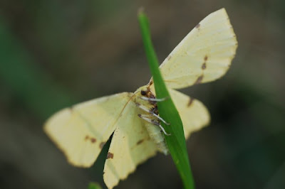 Yellow moth on blade of grass