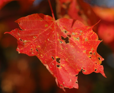 Red sugar maple leaf