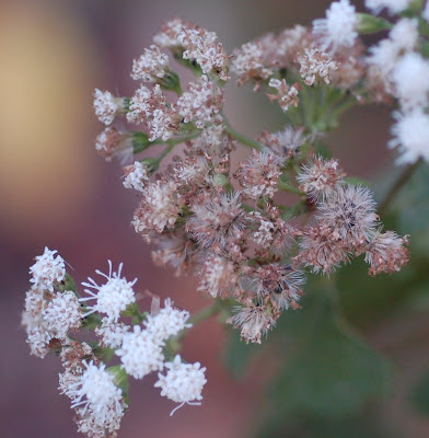 White snakeroot inflorescence, flowers and seeds