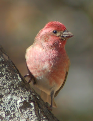 Purple Finch, male, in maple tree