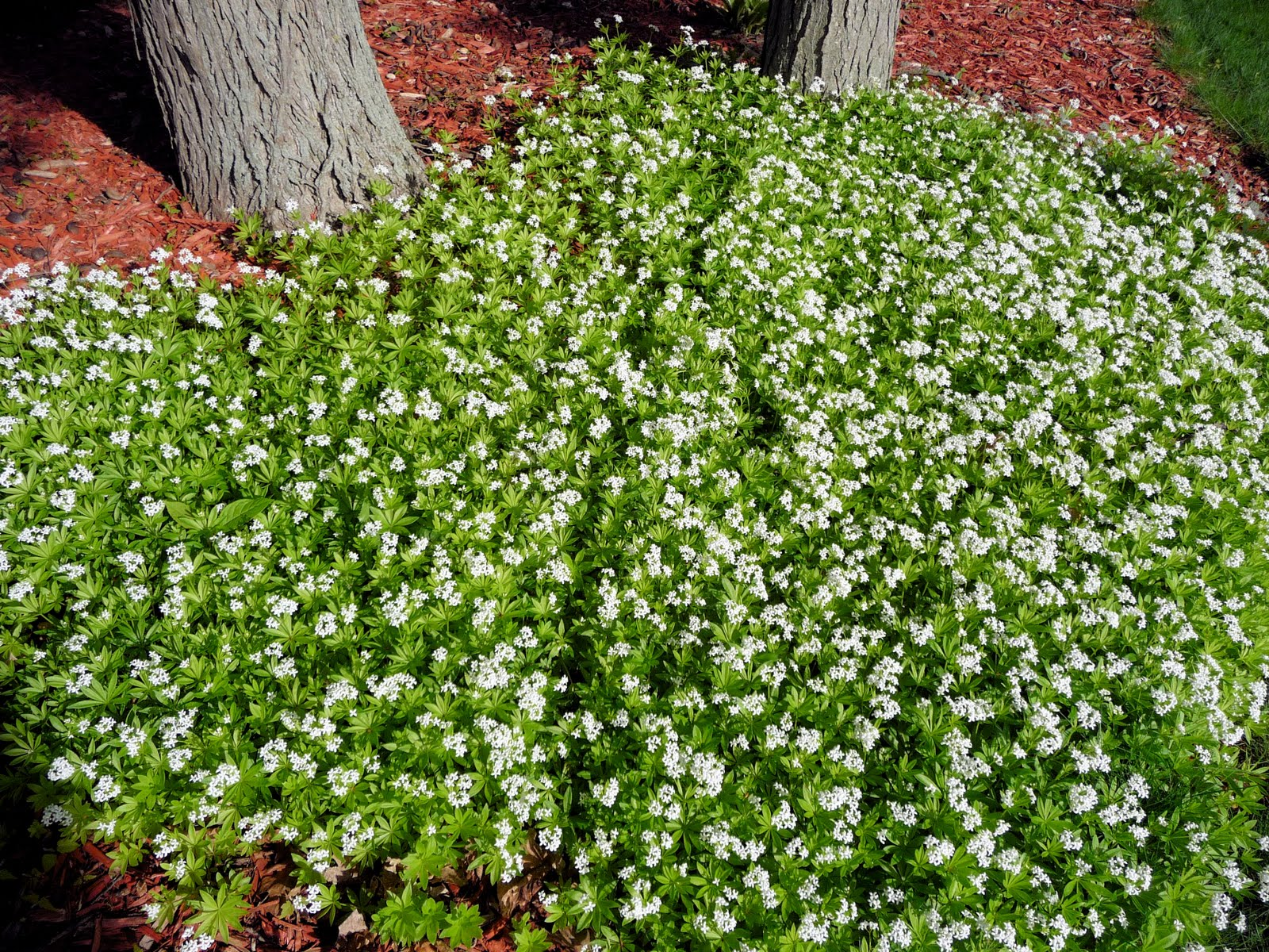 Natural Ant Killer For Yard Mamma Mia Days Spring Blooming Groundcover
