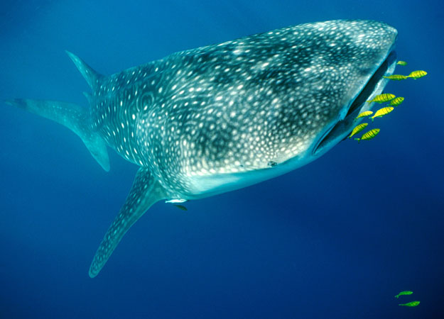 Off the beaten Track : Dive Log: Palagala & Bambadahaya ... Basking Shark Vs Whale Shark