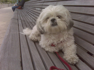 Maltese shih tzu mix enjoying the chelsea piers!