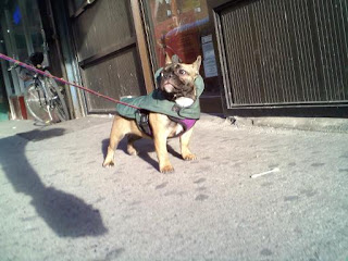 French bulldog puppy on Avenue B