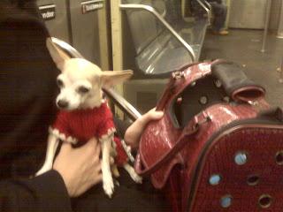Teacup chihuahua riding the C train!! NYC