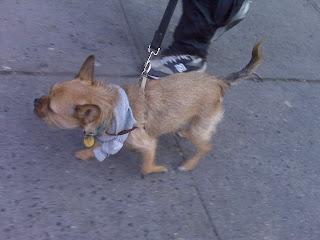 Terrier/ french bulldog mix power walk! West village, NYC