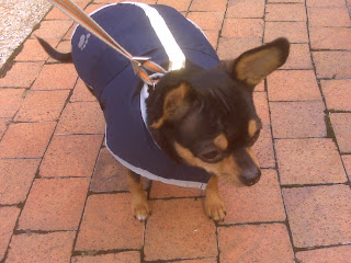 Chihuahua in a blue coat, West Village, NYC