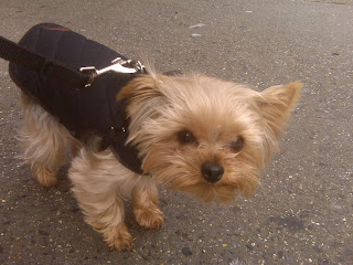 Yorkie facing a strong wind on 7th Avenue, West Village, NYC