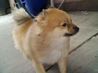 Pomeranian on E 5th