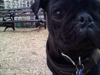 Up close with a pug in union square dog run.